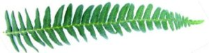 Fern5-green rotated